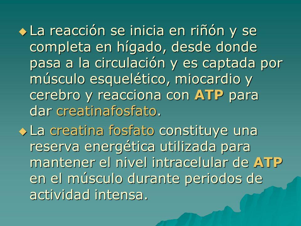 La reacción se inicia en riñón y se completa en hígado, desde donde pasa a la circulación y es captada por músculo esquelético, miocardio y cerebro y reacciona con ATP para dar creatinafosfato.