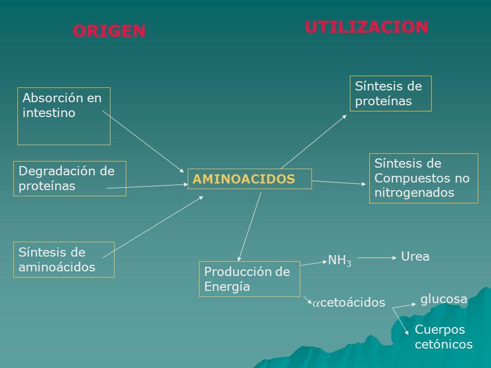 UTILIZACION ORIGEN Síntesis de proteínas Absorción en intestino