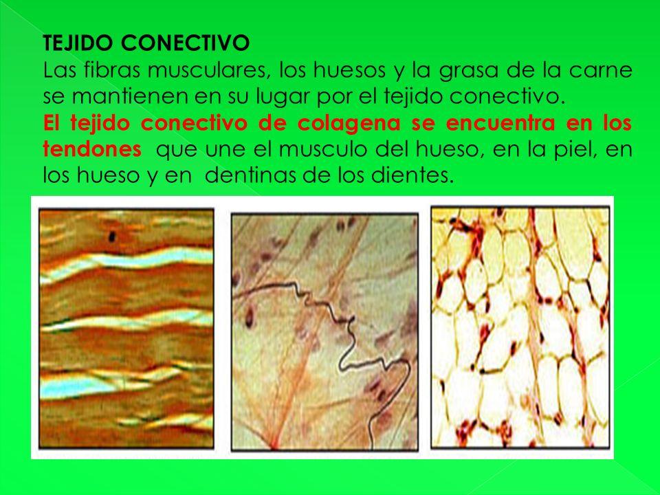 TEJIDO CONECTIVO Las fibras musculares, los huesos y la grasa de la carne se mantienen en su lugar por el tejido conectivo.