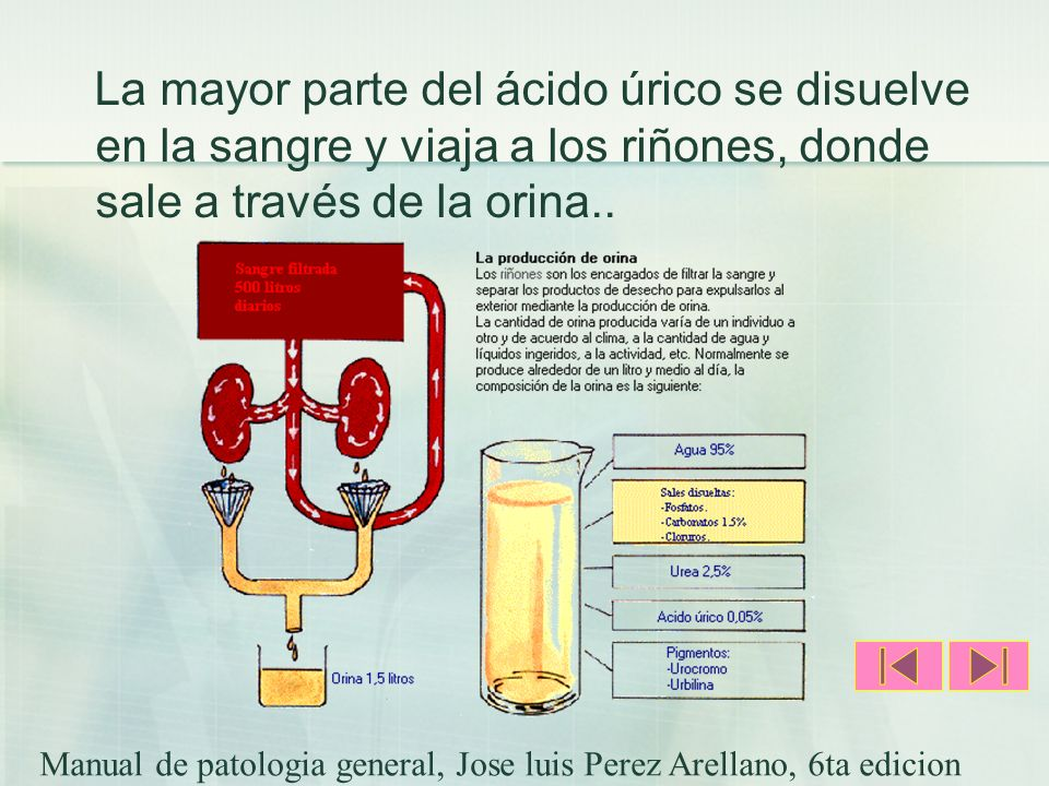 La mayor parte del ácido úrico se disuelve en la sangre y viaja a los riñones, donde sale a través de la orina..
