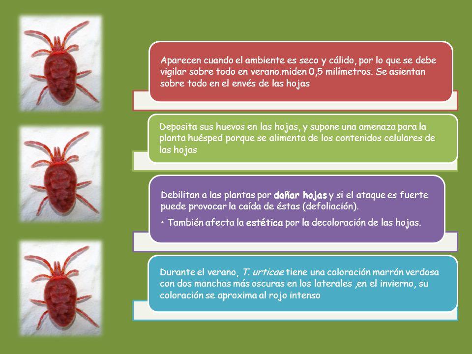 • También afecta la estética por la decoloración de las hojas.