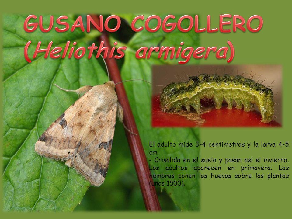 GUSANO COGOLLERO (Heliothis armigera)