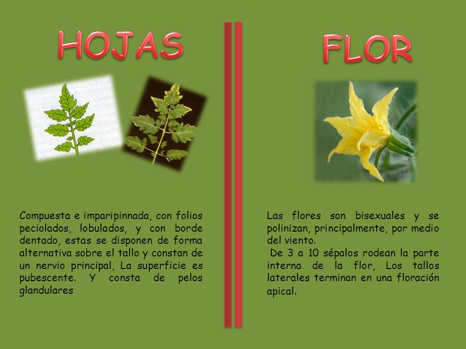HOJAS FLOR.
