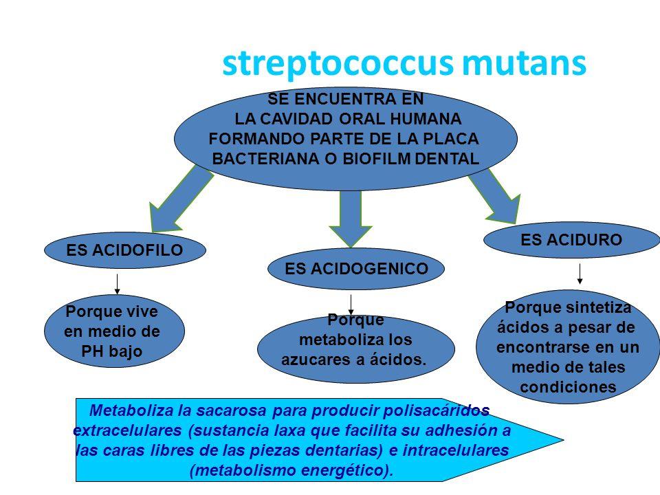 streptococcus mutans SE ENCUENTRA EN LA CAVIDAD ORAL HUMANA