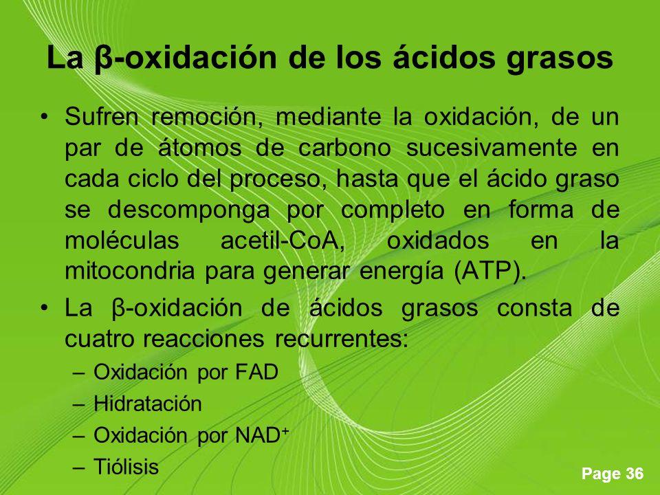 La β-oxidación de los ácidos grasos