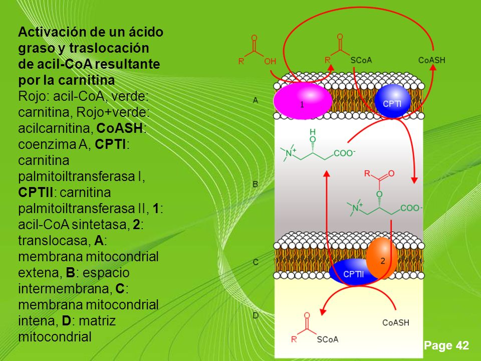 Activación de un ácido graso y traslocación de acil-CoA resultante por la carnitina Rojo: acil-CoA, verde: carnitina, Rojo+verde: acilcarnitina, CoASH: coenzima A, CPTI: carnitina palmitoiltransferasa I, CPTII: carnitina palmitoiltransferasa II, 1: acil-CoA sintetasa, 2: translocasa, A: membrana mitocondrial extena, B: espacio intermembrana, C: membrana mitocondrial intena, D: matriz mitocondrial
