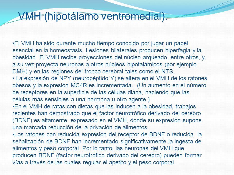VMH (hipotálamo ventromedial).