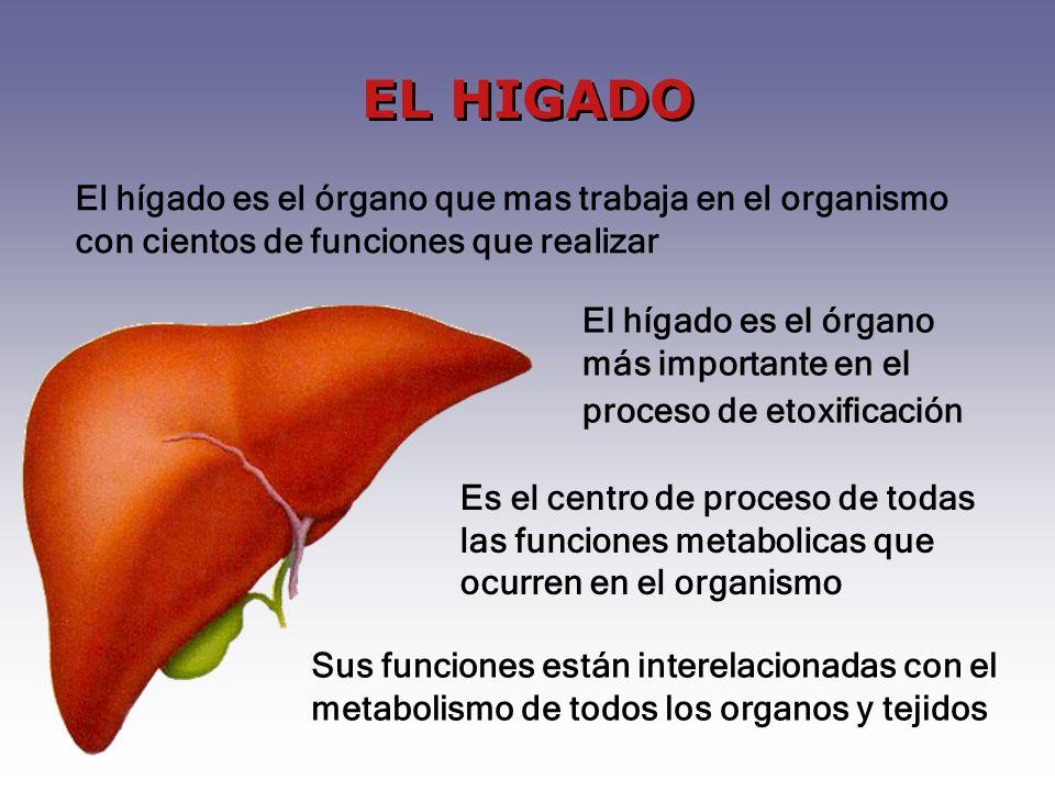 EL HIGADO El hígado es el órgano que mas trabaja en el organismo con cientos de funciones que realizar.