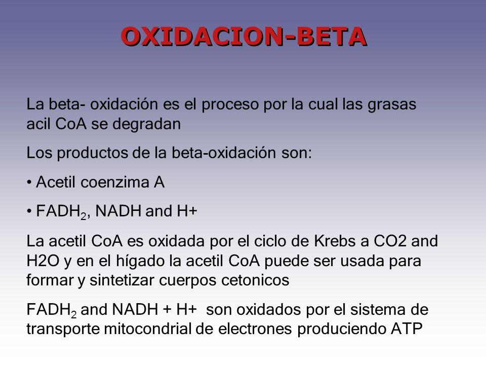 OXIDACION-BETA La beta- oxidación es el proceso por la cual las grasas acil CoA se degradan. Los productos de la beta-oxidación son: