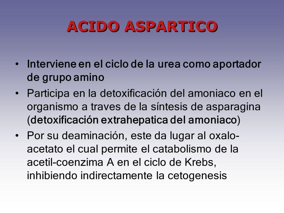 ACIDO ASPARTICO Interviene en el ciclo de la urea como aportador de grupo amino.