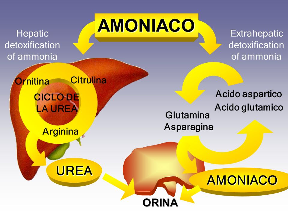 AMONIACO UREA AMONIACO ORINA Hepatic detoxification of ammonia