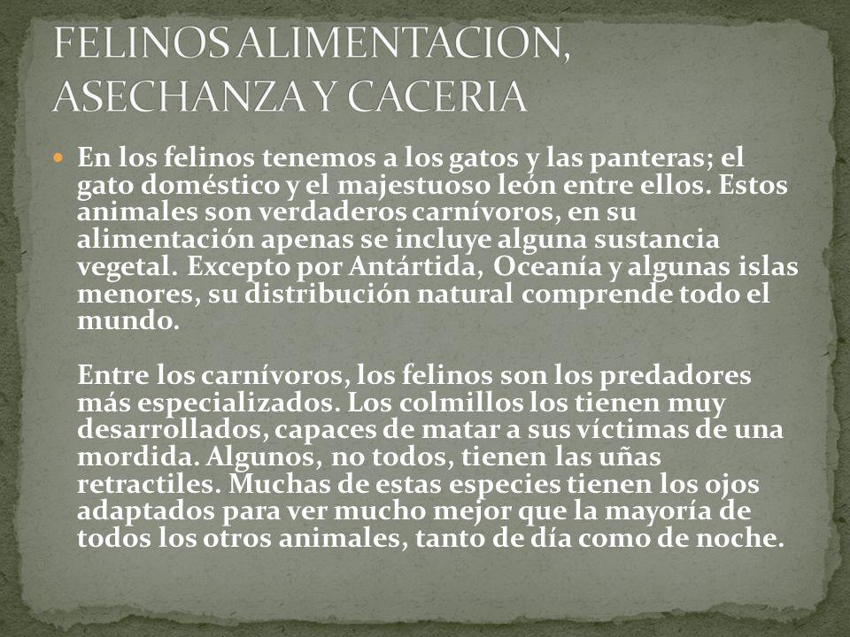 FELINOS ALIMENTACION, ASECHANZA Y CACERIA