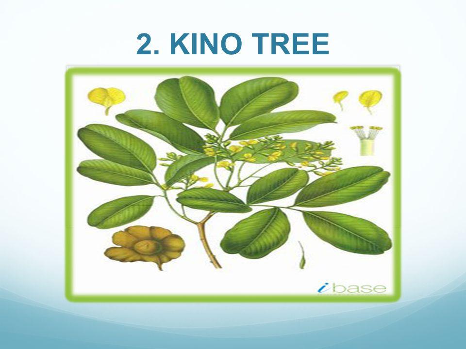 2. KINO TREE