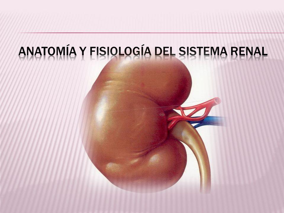 Anatomía y fisiología del sistema renal