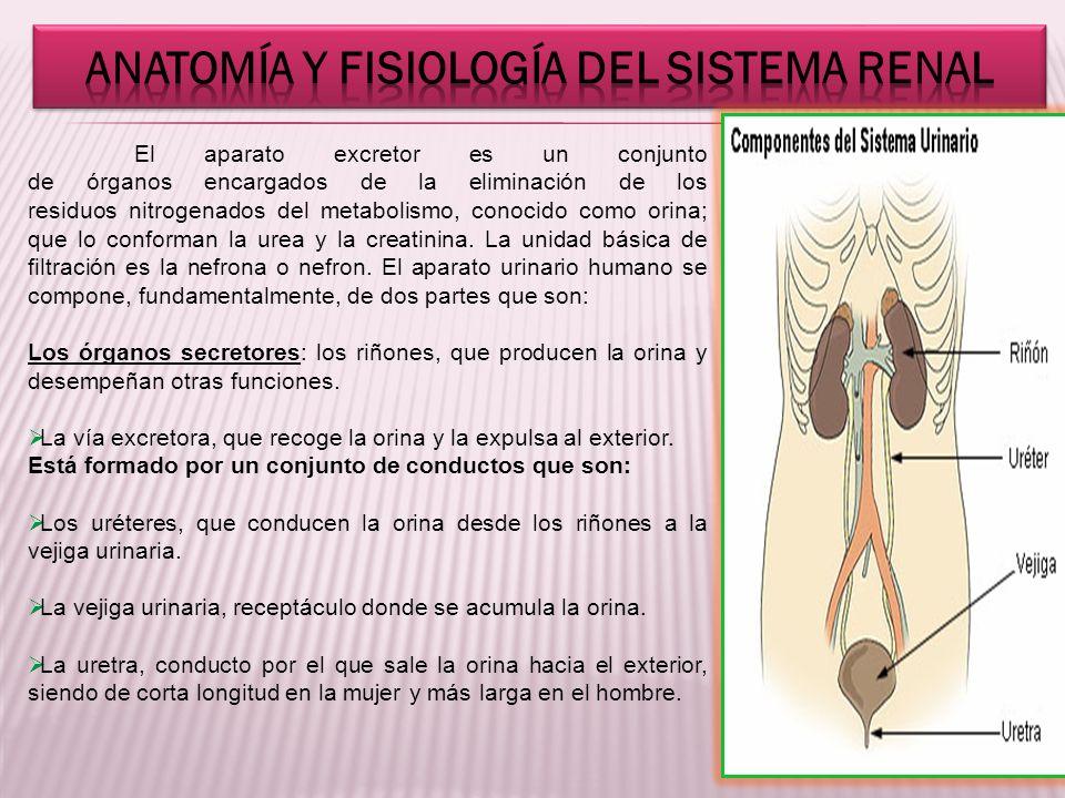 Perfecto Anatomía Y Fisiología Notas Del Sistema Urinario Ornamento ...