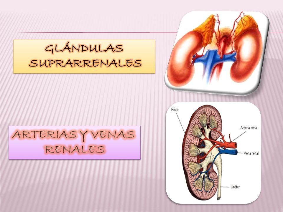 GLÁNDULAS SUPRARRENALES ARTERIAS Y VENAS RENALES