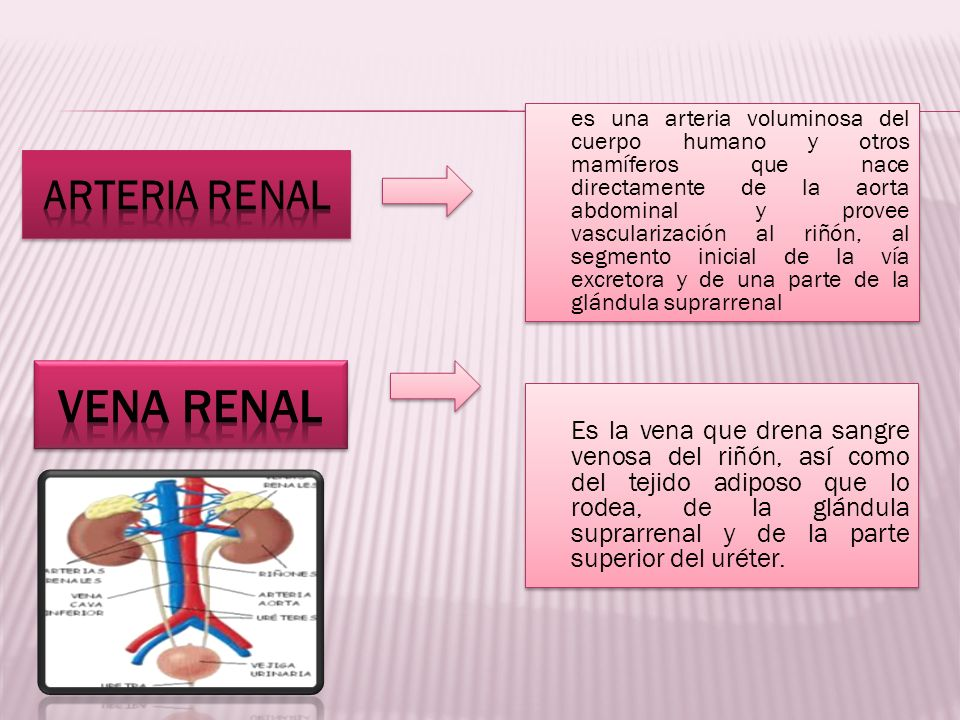 VENA RENAL Arteria renal