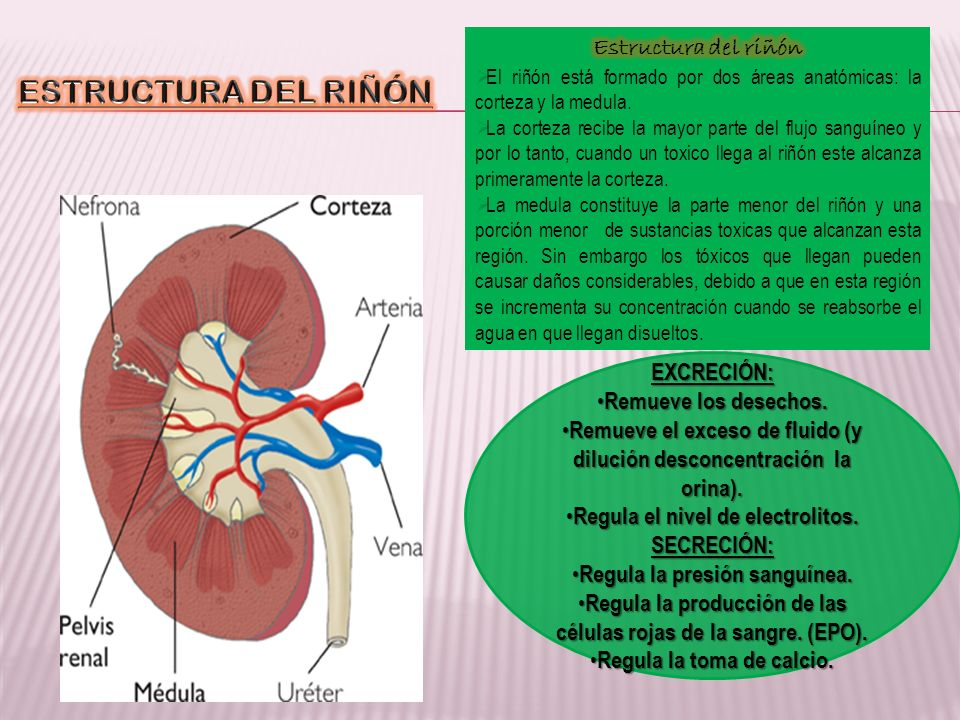 ESTRUCTURA DEL RIÑÓN Estructura del riñón EXCRECIÓN: