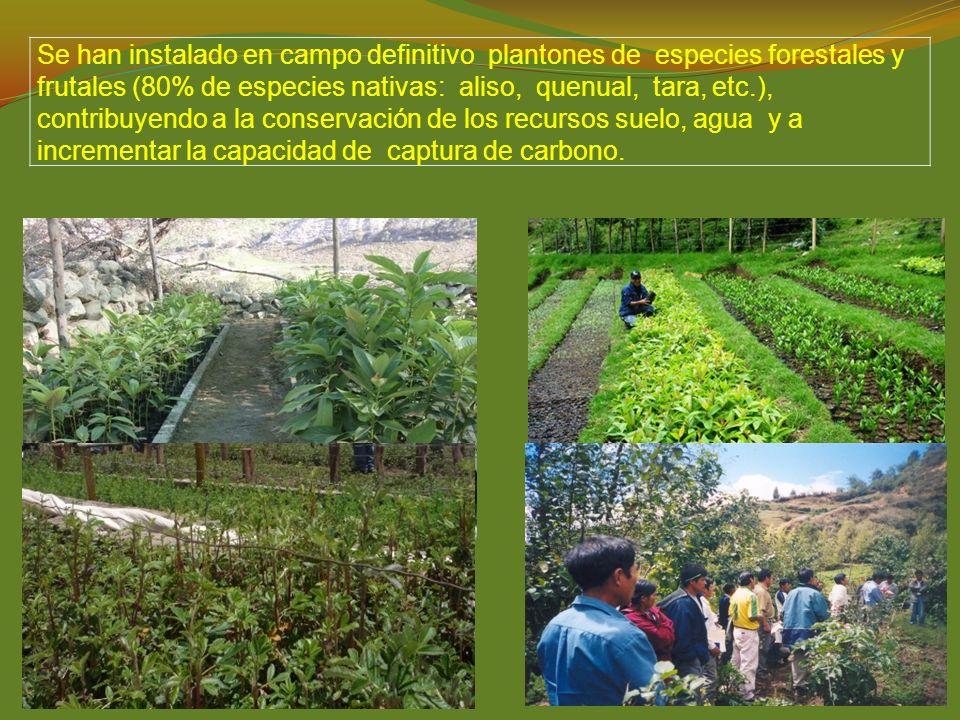 Se han instalado en campo definitivo plantones de especies forestales y frutales (80% de especies nativas: aliso, quenual, tara, etc.), contribuyendo a la conservación de los recursos suelo, agua y a incrementar la capacidad de captura de carbono.