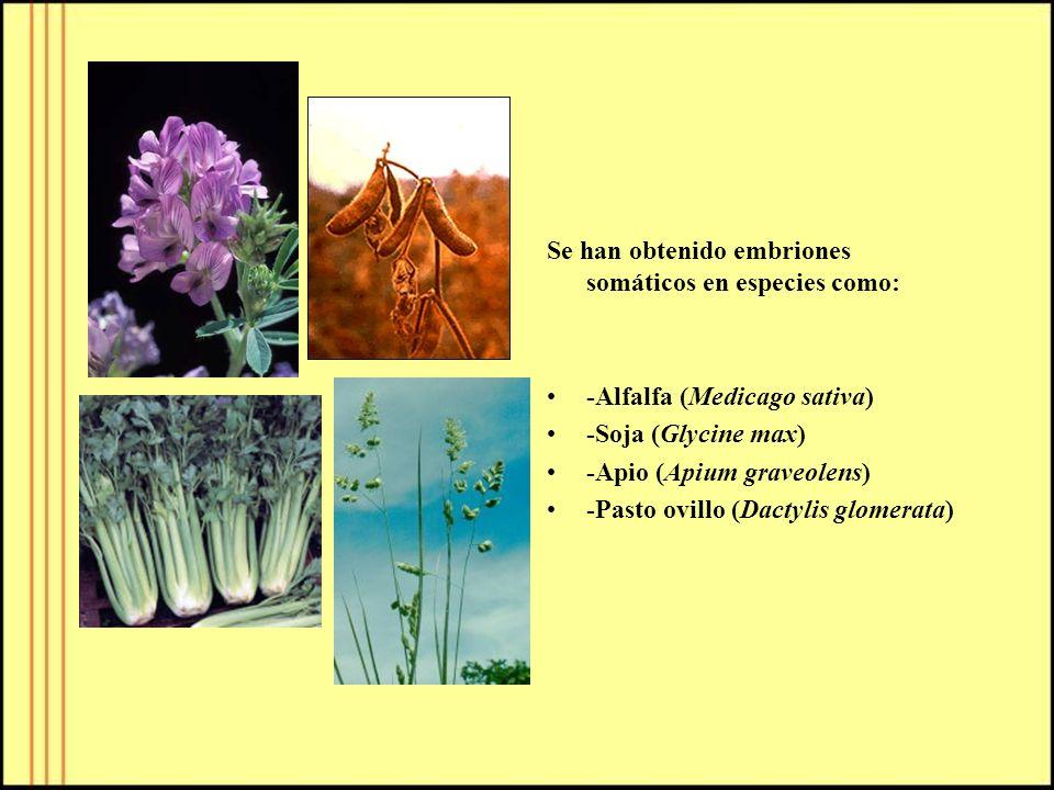 Se han obtenido embriones somáticos en especies como:
