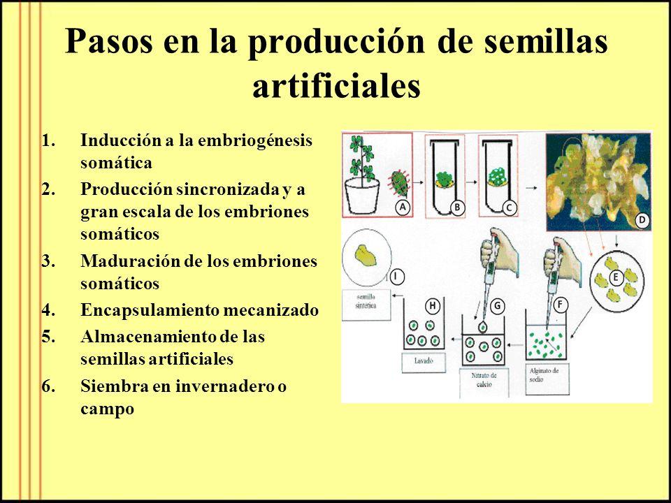 Pasos en la producción de semillas artificiales