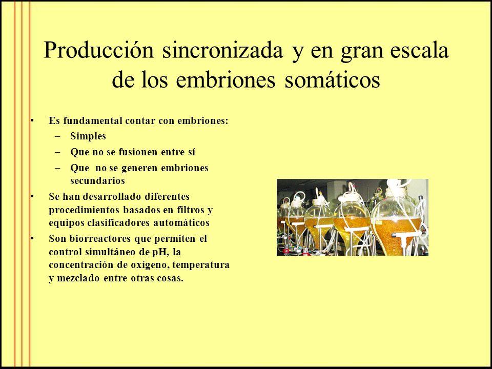 Producción sincronizada y en gran escala de los embriones somáticos