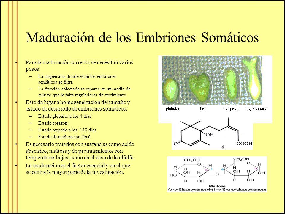Maduración de los Embriones Somáticos