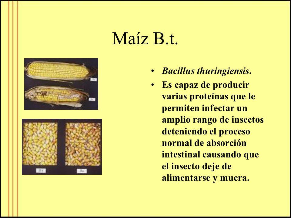 Maíz B.t. Bacillus thuringiensis.