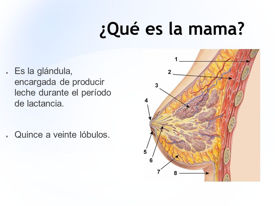 ¿Qué es la mama. Es la glándula, encargada de producir leche durante el período de lactancia.