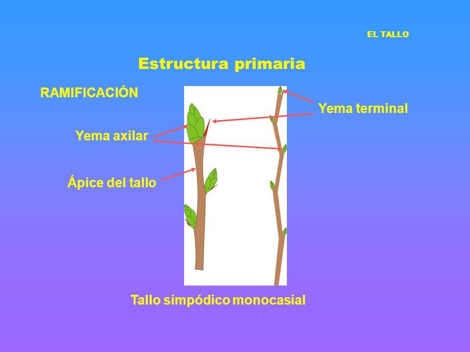 Estructura primaria RAMIFICACIÓN Yema terminal Yema axilar