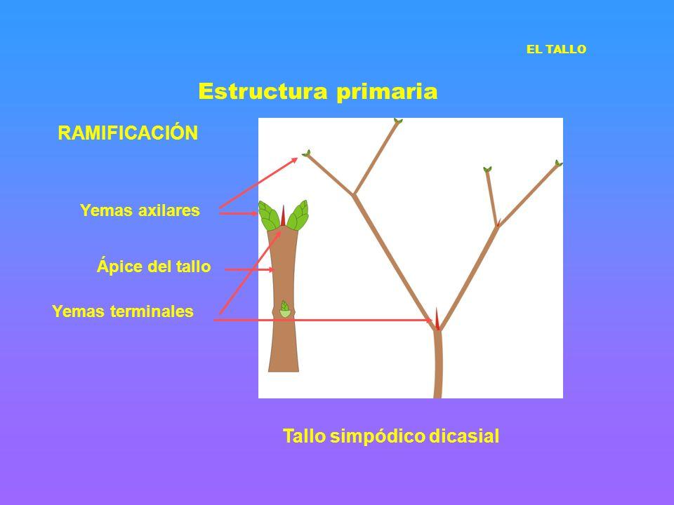 Estructura primaria RAMIFICACIÓN Tallo simpódico dicasial