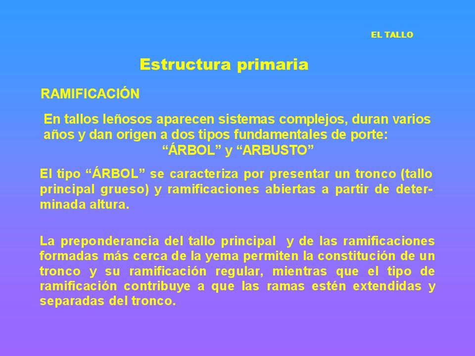 Estructura primaria EL TALLO RAMIFICACIÓN