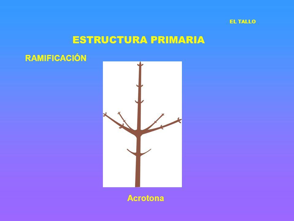 ESTRUCTURA PRIMARIA EL TALLO RAMIFICACIÓN Acrotona