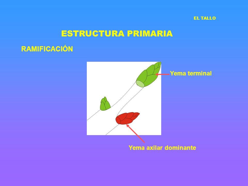ESTRUCTURA PRIMARIA RAMIFICACIÓN Yema terminal Yema axilar dominante