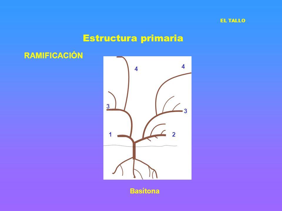 Estructura primaria EL TALLO RAMIFICACIÓN 4 4 3 3 1 2 Basítona