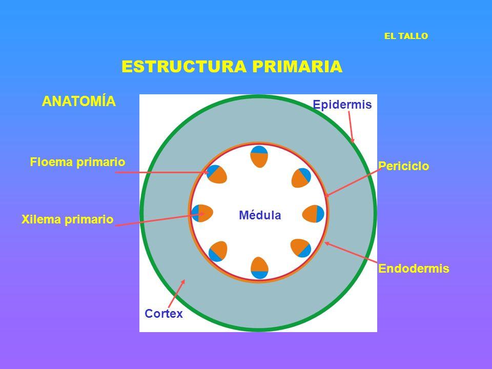 ESTRUCTURA PRIMARIA ANATOMÍA Epidermis Floema primario Periciclo