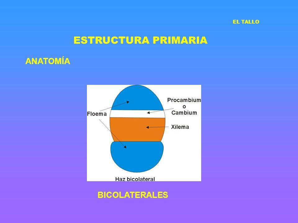 ESTRUCTURA PRIMARIA EL TALLO ANATOMÍA BICOLATERALES