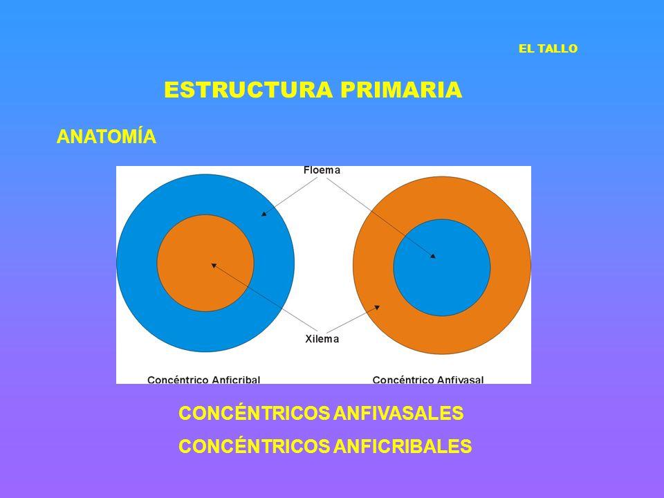 ESTRUCTURA PRIMARIA ANATOMÍA CONCÉNTRICOS ANFIVASALES