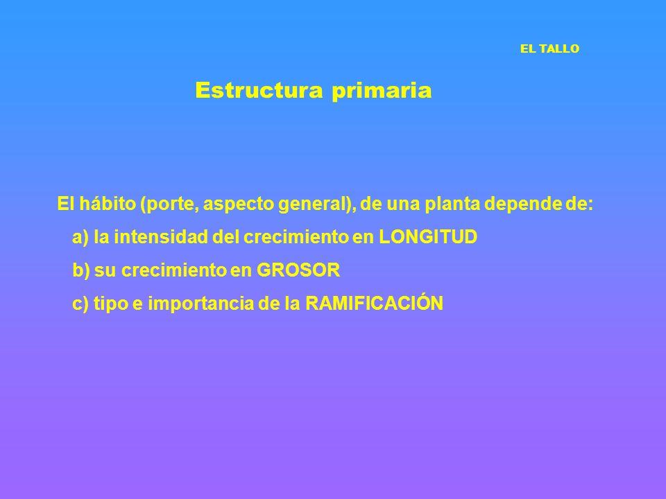 Estructura primaria EL TALLO. El hábito (porte, aspecto general), de una planta depende de: a) la intensidad del crecimiento en LONGITUD.
