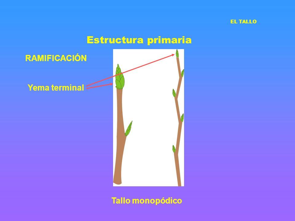 Estructura primaria RAMIFICACIÓN Yema terminal Tallo monopódico