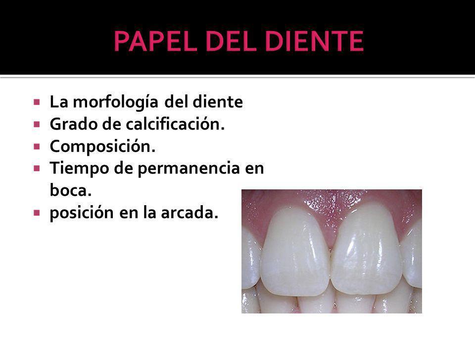 PAPEL DEL DIENTE La morfología del diente Grado de calcificación.