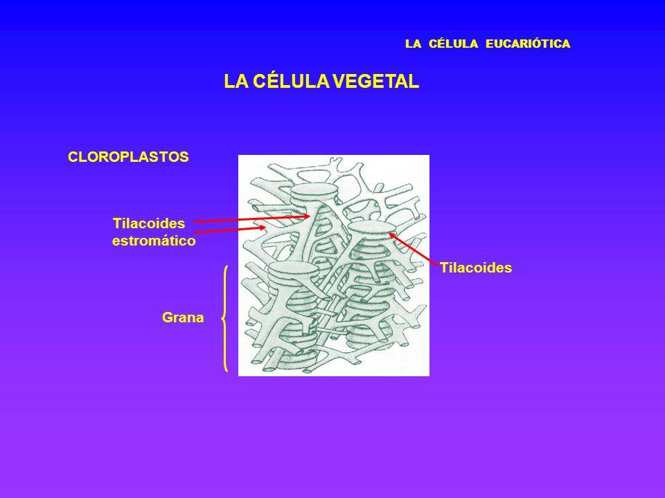 LA CÉLULA VEGETAL CLOROPLASTOS Tilacoides estromático Tilacoides Grana