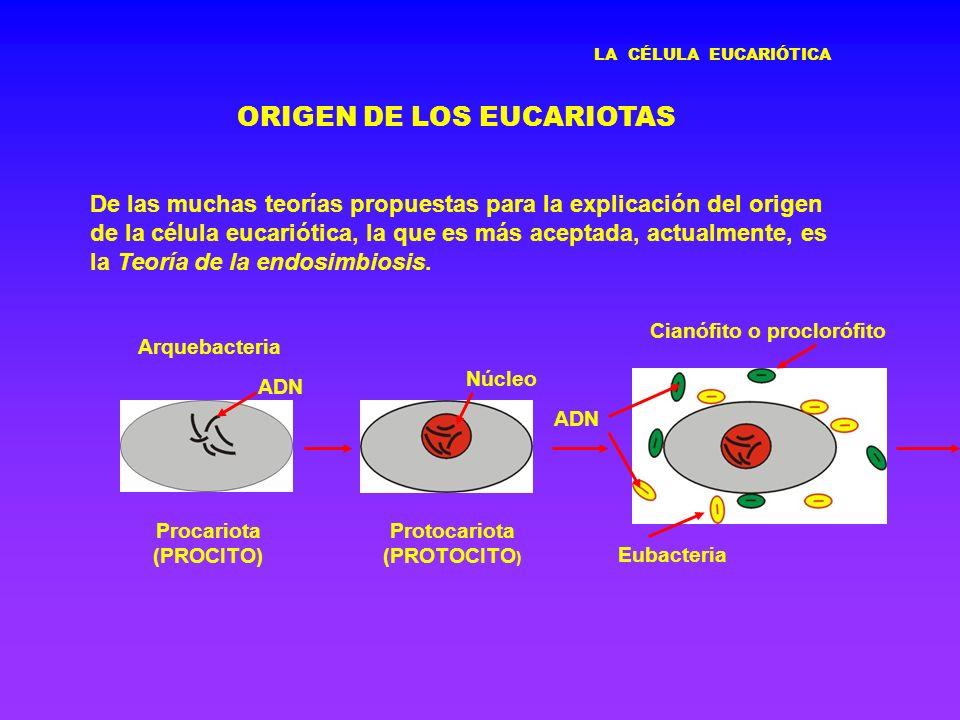 Protocariota (PROTOCITO)