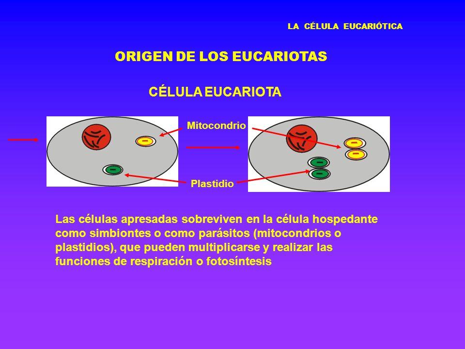 ORIGEN DE LOS EUCARIOTAS