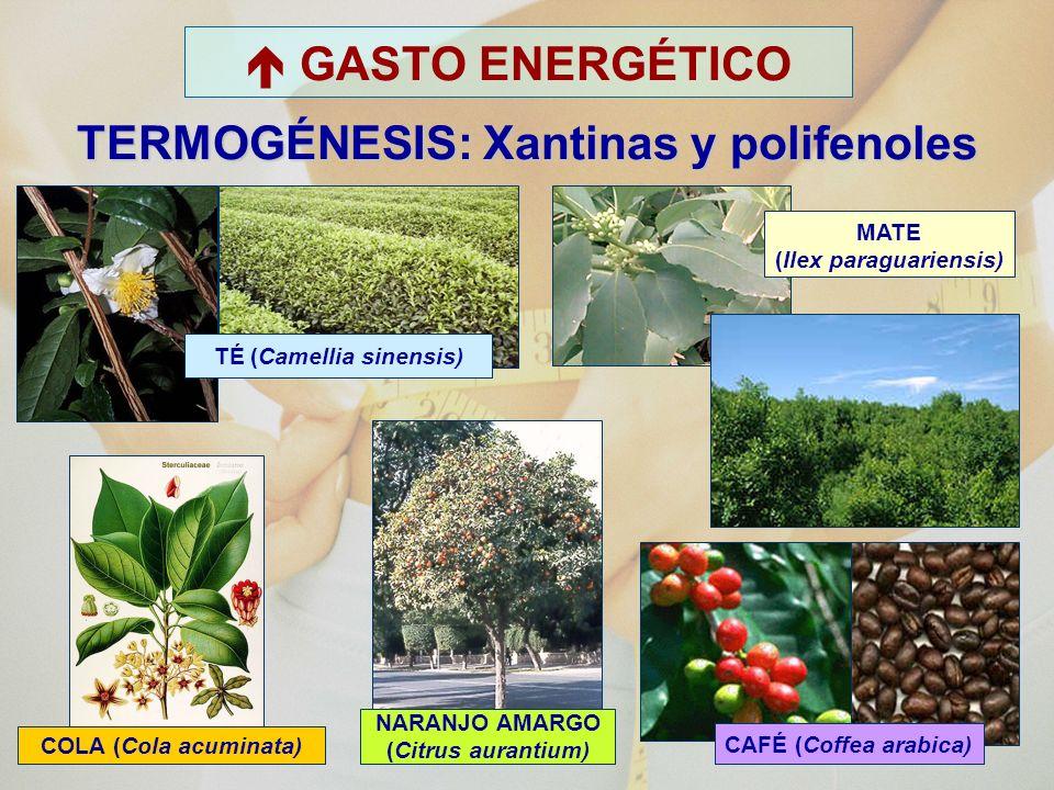  GASTO ENERGÉTICO TERMOGÉNESIS: Xantinas y polifenoles
