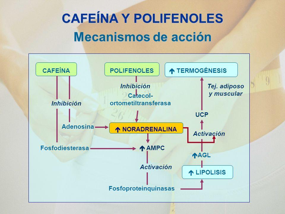 CAFEÍNA Y POLIFENOLES Mecanismos de acción