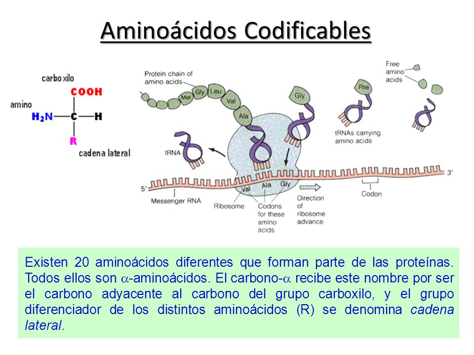 Aminoácidos Codificables