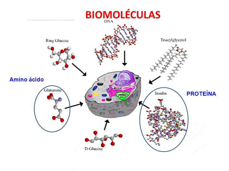 BIOMOLÉCULAS Amino ácido PROTEÍNA
