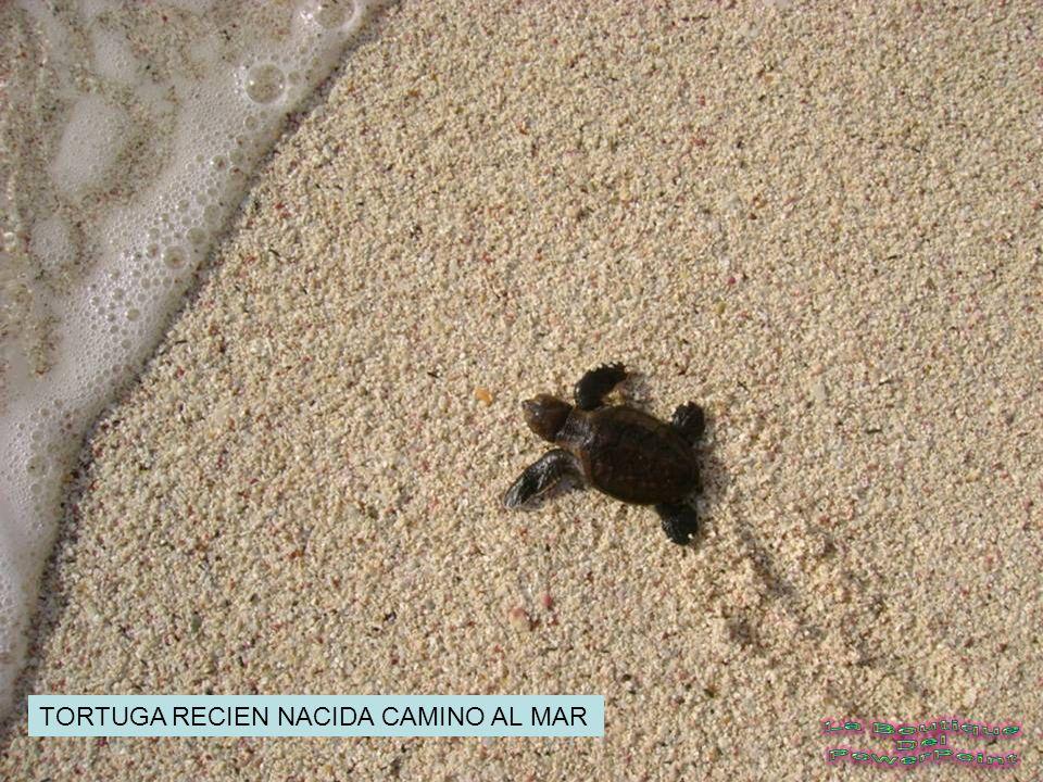 TORTUGA RECIEN NACIDA CAMINO AL MAR