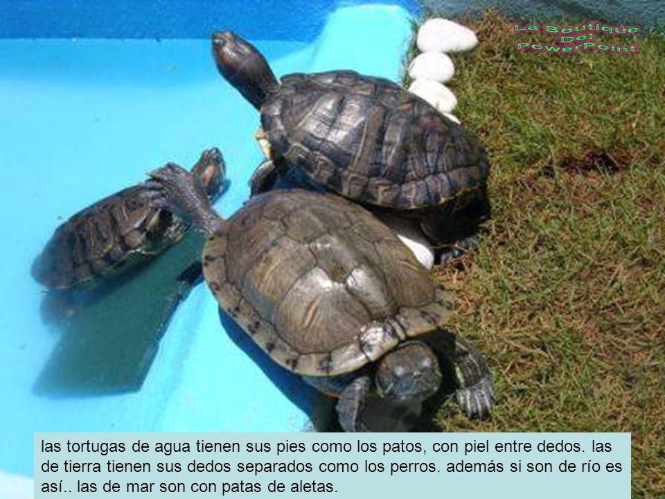las tortugas de agua tienen sus pies como los patos, con piel entre dedos.